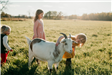 Little girls playing in field with goat.