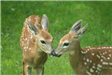 Young fawns.