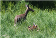 Doe and fawn in field.