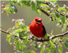Red bird in tree.