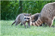 Young raccoons.