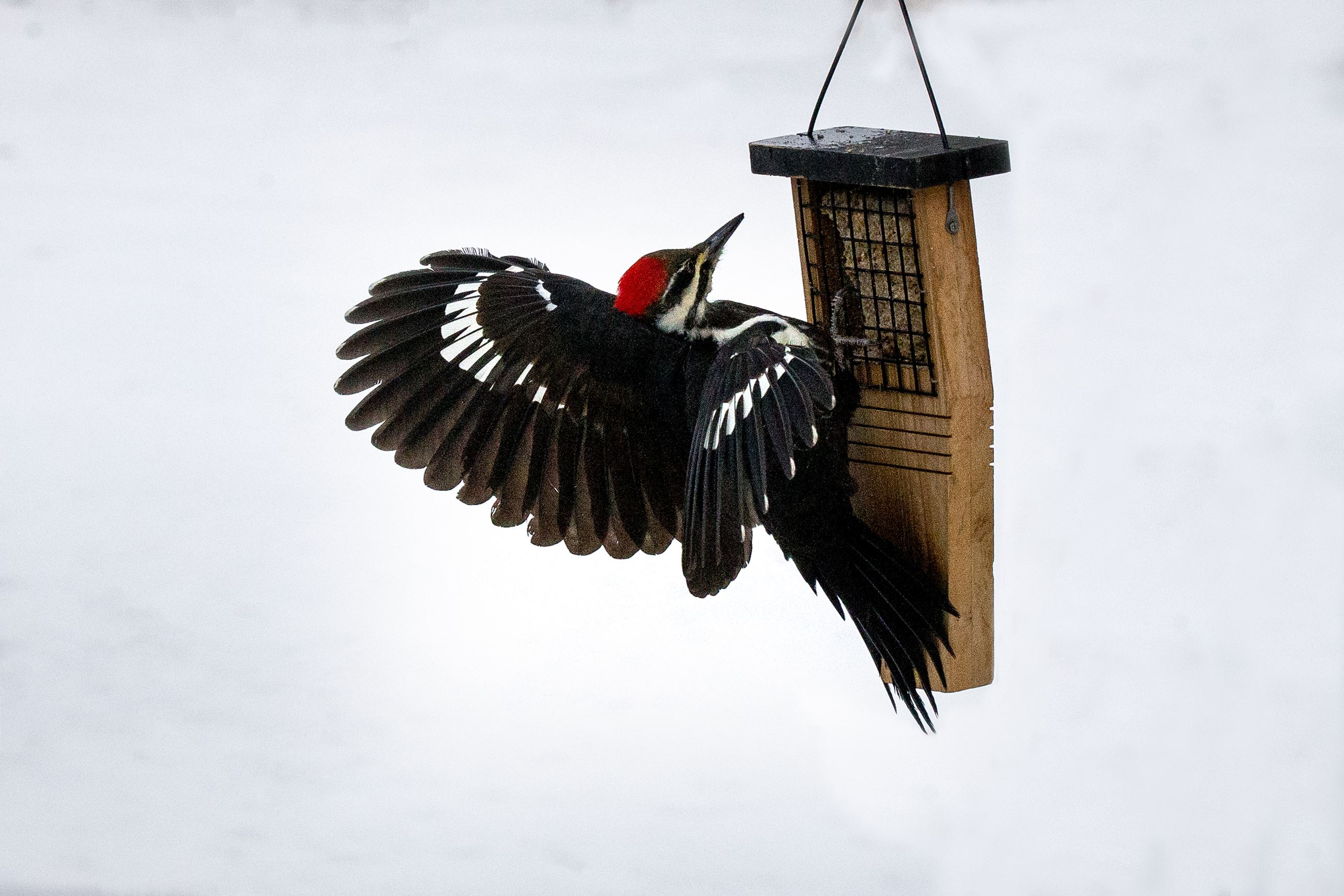 Woodpecker at bird feeder.