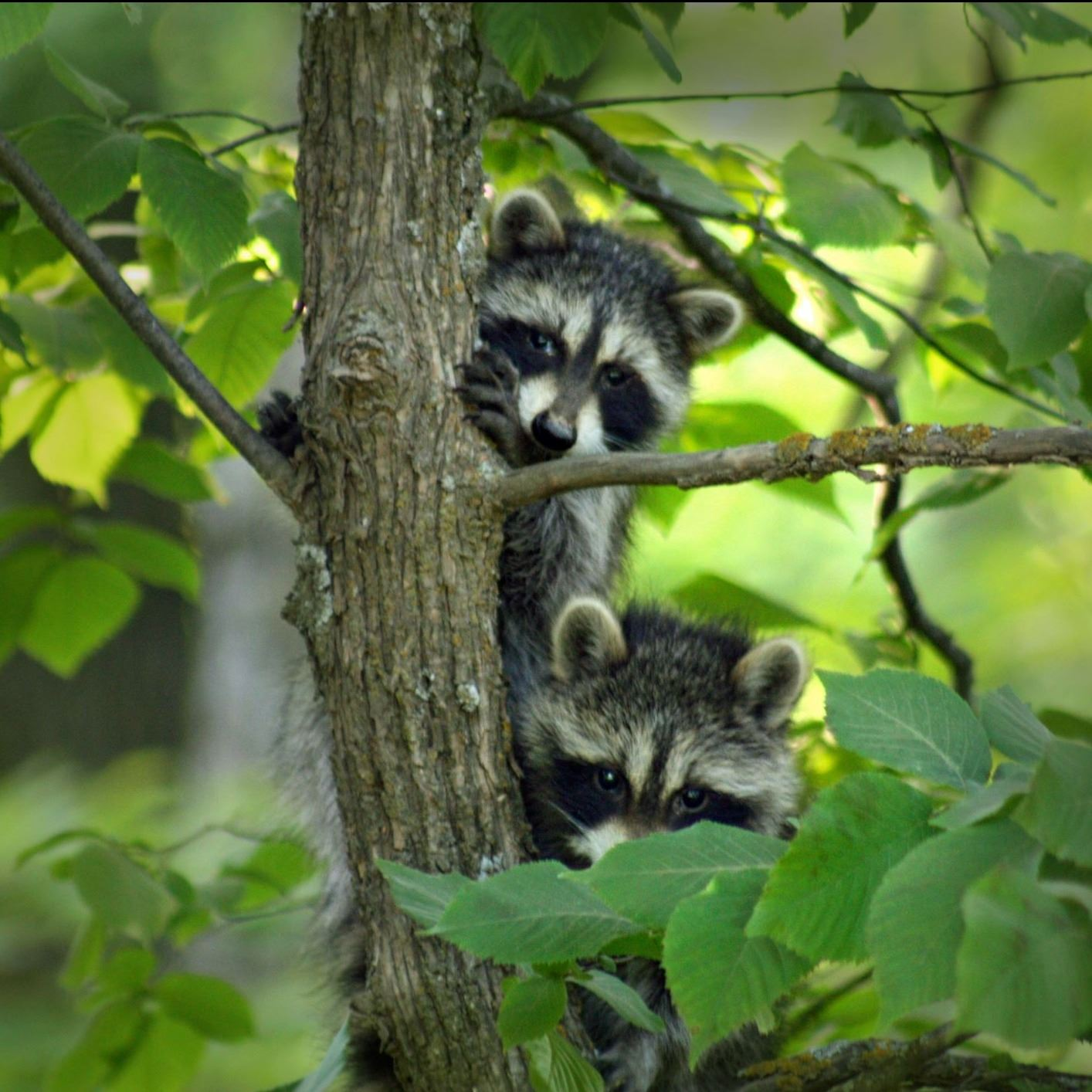 Young Raccoons at play.