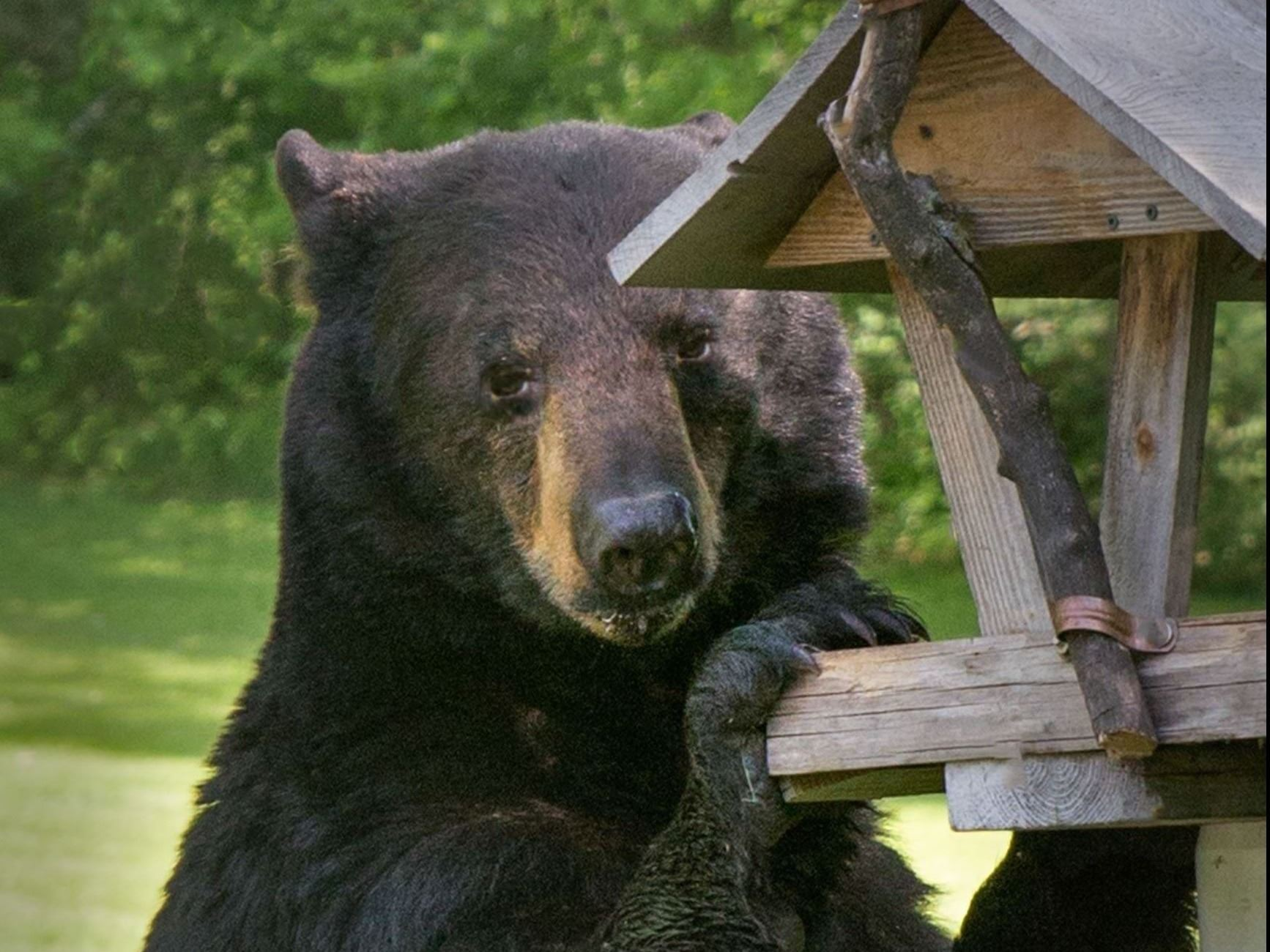 Hungry bear at bird feeder.