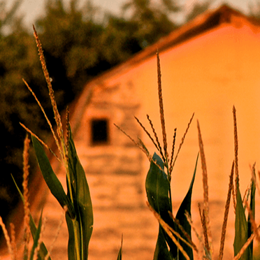 Barn at sunset with wheat in foreground